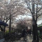 불광천 벚꽃길
