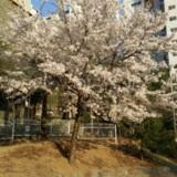 놀이터에 활짝핀 벚꽃