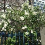명지대 부근 라일락꽃