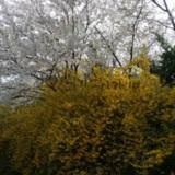 함께핀 개나리와 벚꽃