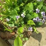 종지나물꽃